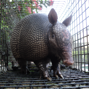 Southwest Ranches, FL Armadillo Removal Service