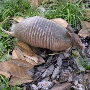 Animal Rangers Armadillo Control