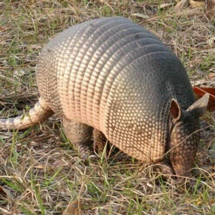 Animal Rangers Armadillo Digging in Yard