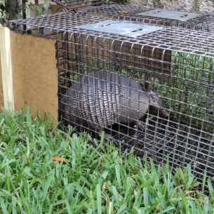 Animal Rangers Get Rid of Armadillos