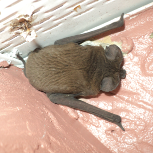 Fort Lauderdale, FL Bat Exclusion Services