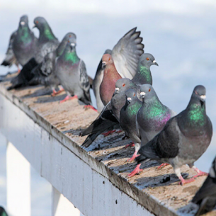 Palm Beach County, FL Pigeon Removal Services