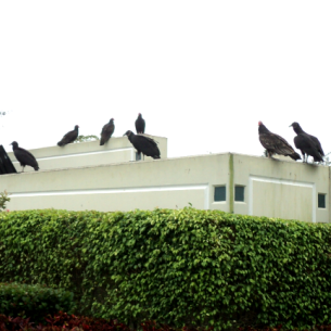 How to Get Rid of Vultures - Palm Beach County, FL
