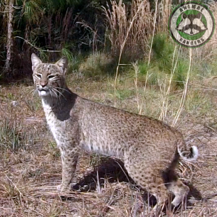 Southwest Ranches, FL Bobcat Removal Services