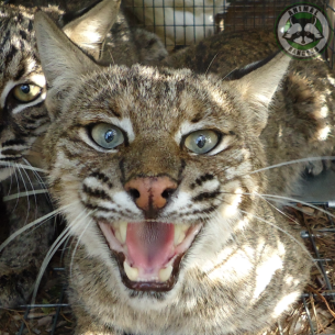 West Palm Beach, FL Nuisance Bobcat Removal Services