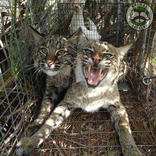 Bobcat Wildlife Trappers in Southwest Ranches, FL