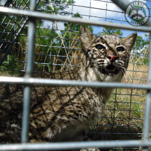 Southwest Ranches, FL Nuisance Bobcat Trapping and Removal