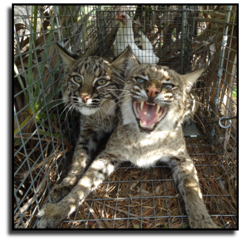 Florida Bobcat Removal