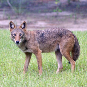 Nuisance Coyote trappers in West Palm Beach, FL