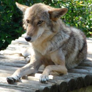 Bradenton, FL Coyote Removal Services