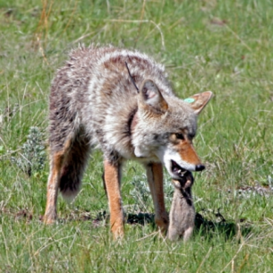 Coyote Control in Fort Pierce, FL