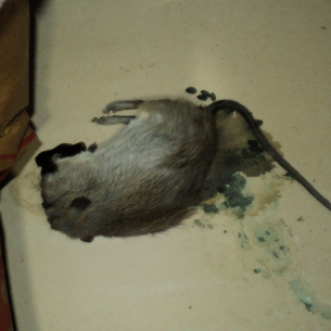 North Lauderdale, FL Dead Animal in Attic Removal Services