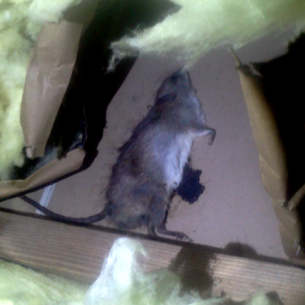 Dead Rat in Attic Removal Services in North Lauderdale, FL
