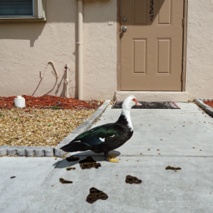 Port St. Lucie, FL Nuisance Duck Removal Services