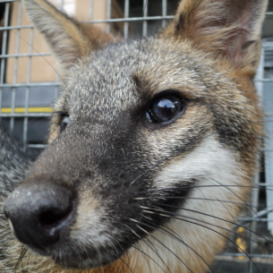 North Lauderdale, FL Animal Control - Fox Removal