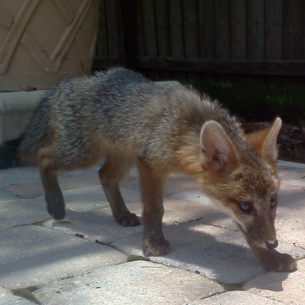 Port Charlotte, FL Fox Capture and Removal Services