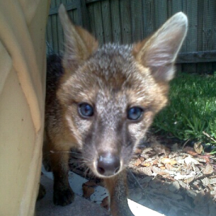 Nuisance Fox Removal Services in Tamarac, FL