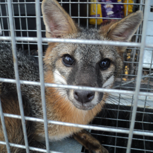 North Lauderdale, FL Nuisance Fox Trappers
