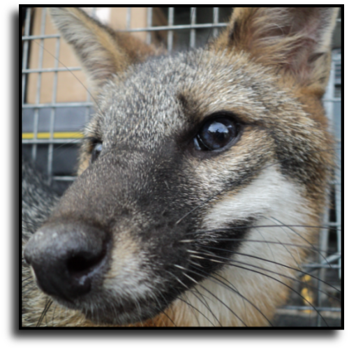 Lauderdale Lakes, FL Fox Removal