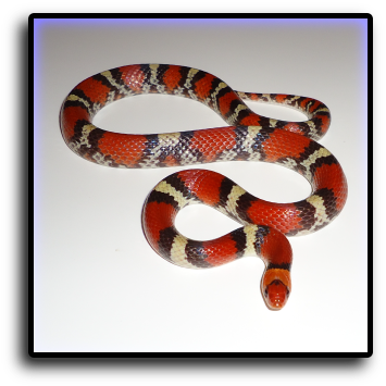 Snake Removal Deerfield Beach, FL Animal Rangers Nuisance Wildlife Removal & Pest Control Services