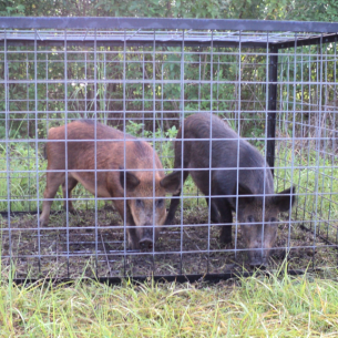 Nuisance Wild Hog Removal Services in Palm Beach County, FL