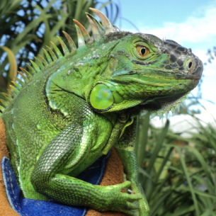 Wilton Manors, FL Iguana Removal Services