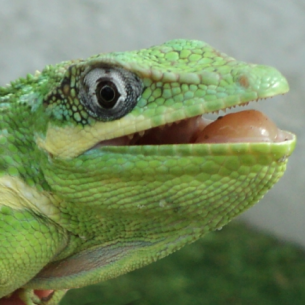 Lizard Control Services in Fort Lauderdale, FL