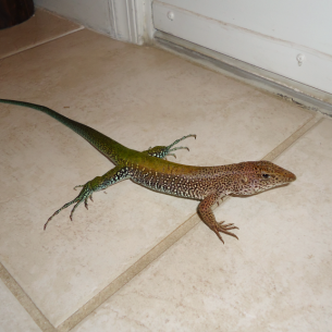 Bradenton, FL Lizard Control and Iguana Removal Services