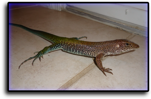 Lizard Removal South Sarasota, FL Animal Rangers Nuisance Wildlife Removal & Pest Control Services