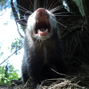Southwest Ranches, FL Opossum Removal Service