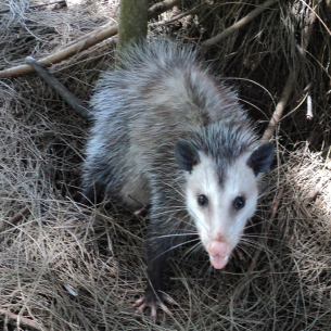 Southwest Ranches, FL Animal Control Opossum Removal