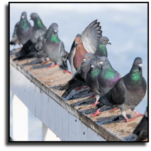 Port St. Lucie, FL Pigeon Removal