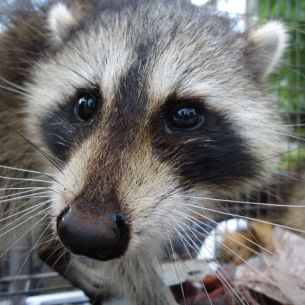 Miami Dade Raccoon Removal Services Florida Wildlife Control
