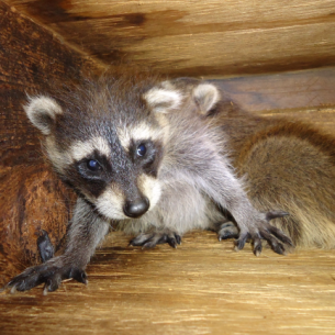 Bradenton, FL Raccoon Removal and Animal Control Services