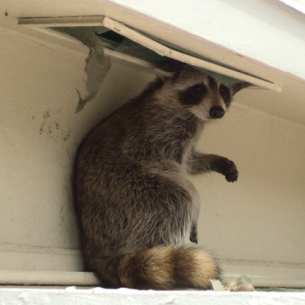 Get Rid of Raccoons in the Attic - Bradenton, FL