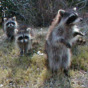 South Palm Beach, FL Nuisance Raccoon Removal Service