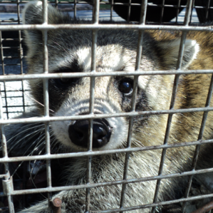 Fort Lauderdale, FL Raccoon Control Service