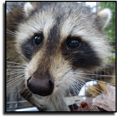 Fort Lauderdale, FL Raccoon Removal