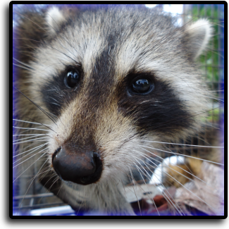Raccoon control Hialeah, FL Animal Rangers Nuisance Wildlife Removal & Pest Control Services