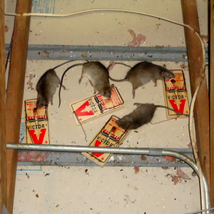 Animal Rangers Get Rid of Rats in the Attic