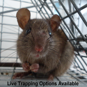 Fort Lauderdale, FL Humane Rat Removal Services
