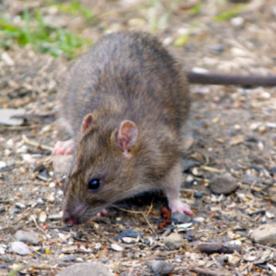 Animal Rangers Rodent Control Services