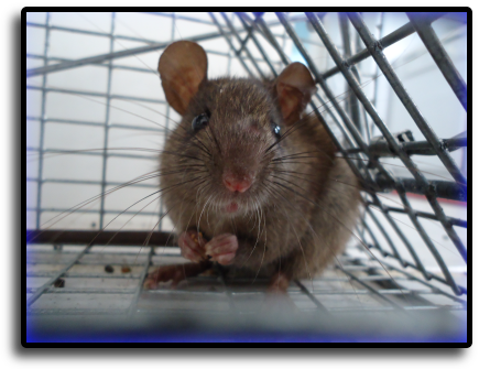 Rat Trapping Hialeah, FL Animal Rangers Nuisance Wildlife Removal & Pest Control Services