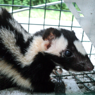 Bradenton, FL Skunk Removal Services