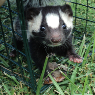 Loxahatchee, FL Skunk Removal and Animal Control