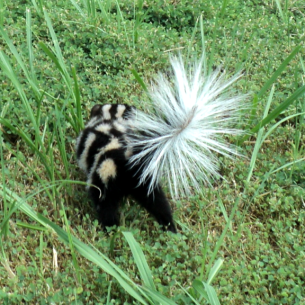 Skunk Removal Services in Bradenton, FL