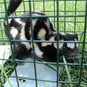 Bradenton, FL Skunk Trapping and Removal Services