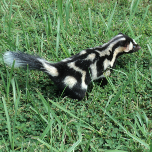 Bradenton, FL Spotted Skunk Removal