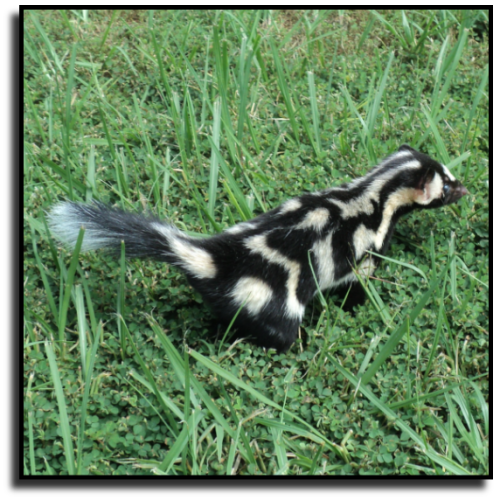 Florida Skunk Removal