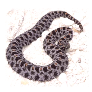 Animal Rangers Rattlesnake Removal Services